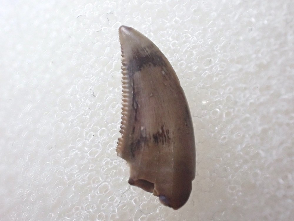 Saurornitholestes Dromaeosaur Tooth (Judith River Fm.) #08