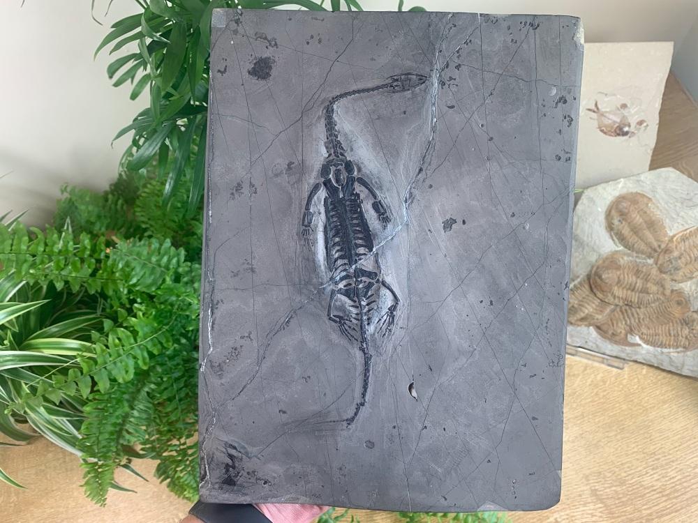 PAIR of Keichousaurus hui, Marine Reptiles