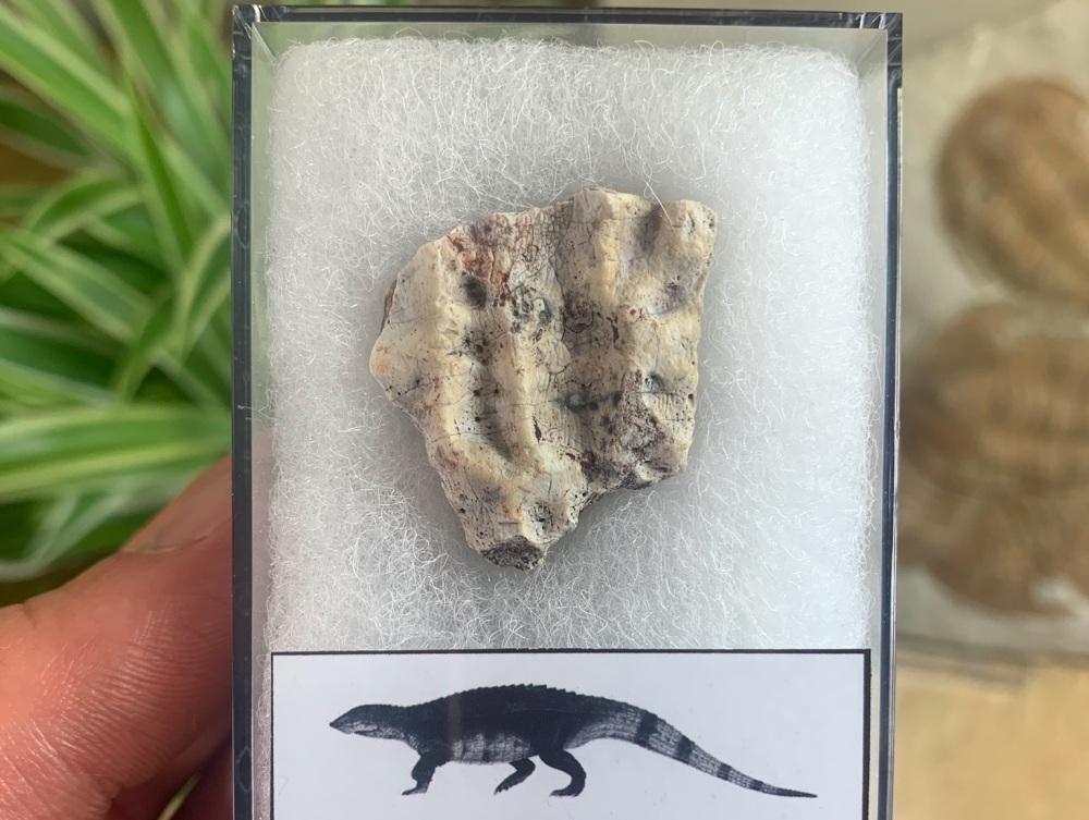 Aetosaur Osteoderm (Triassic Reptile) #02
