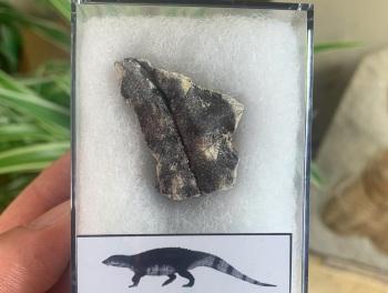 Aetosaur Osteoderm (Triassic Reptile) #03