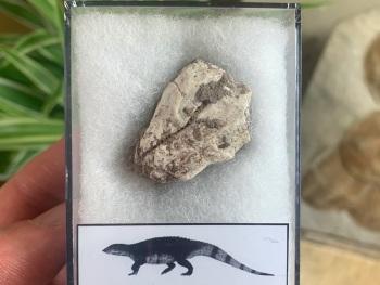 Aetosaur Osteoderm (Triassic Reptile) #08