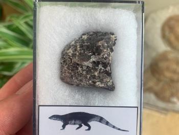 Aetosaur Osteoderm (Triassic Reptile) #10