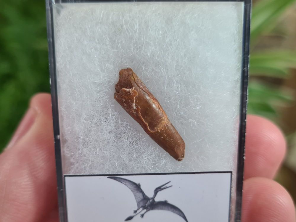 Pterosaur Tooth, Morocco #01
