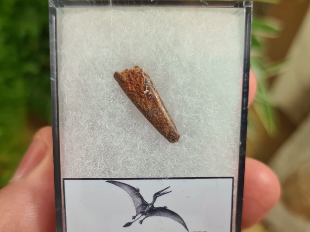 Pterosaur Tooth, Morocco #10