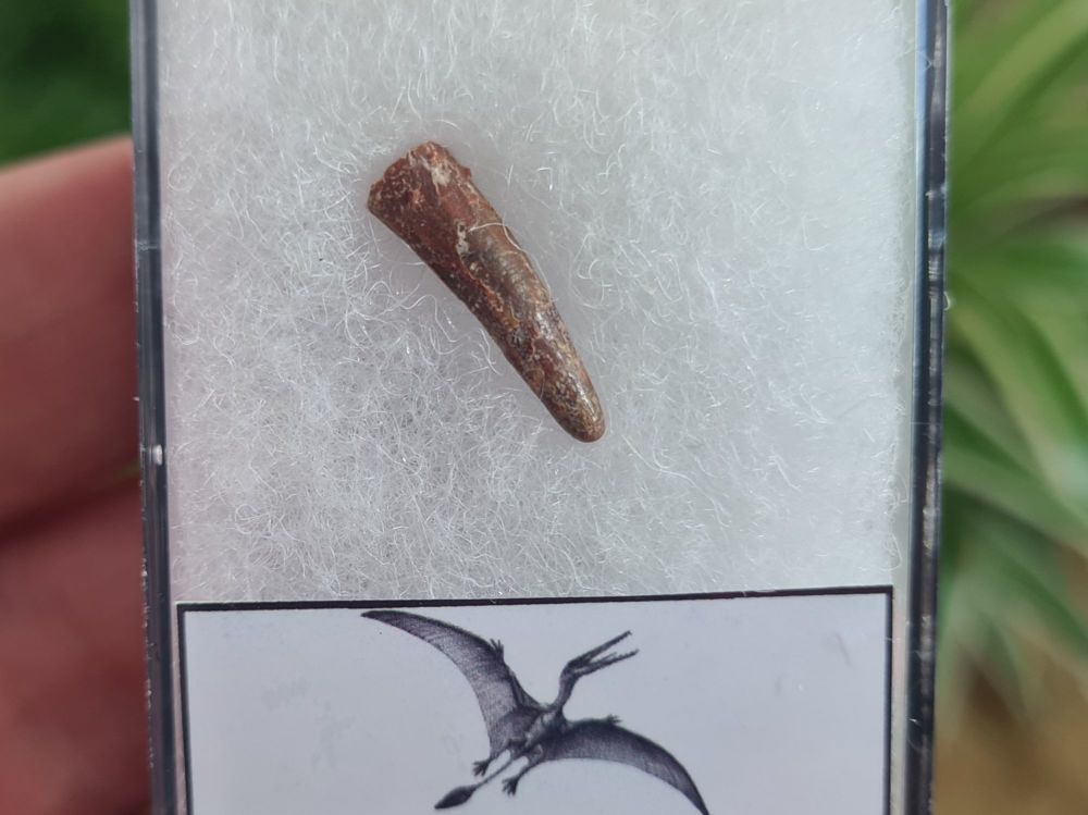 Pterosaur Tooth, Morocco #15