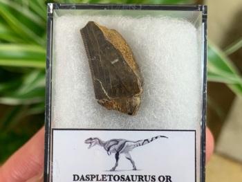 Partial Daspletosaurus/Gorgosaurus Tooth #10