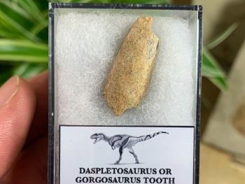 Partial Daspletosaurus/Gorgosaurus Tooth #11