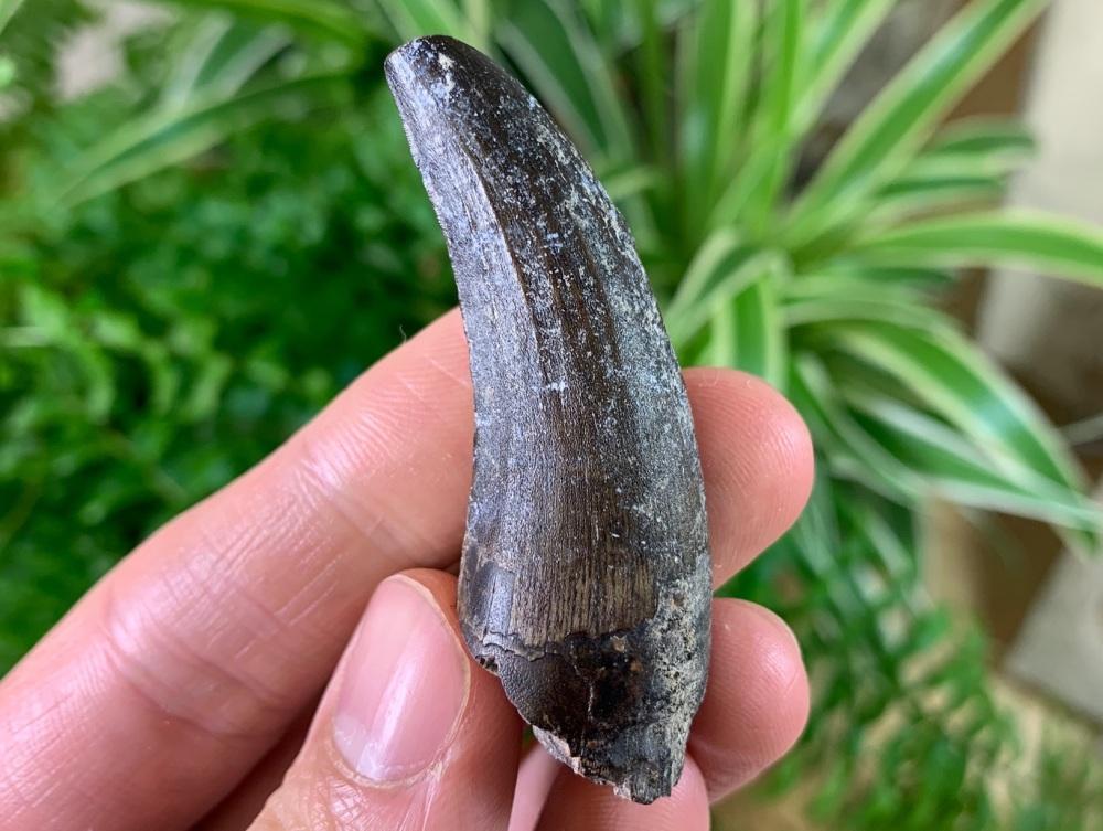 Suchomimus Tooth (Niger) #04