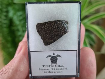 Turtle Shell, Hell Creek #01