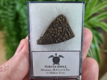 Turtle Shell, Hell Creek #02