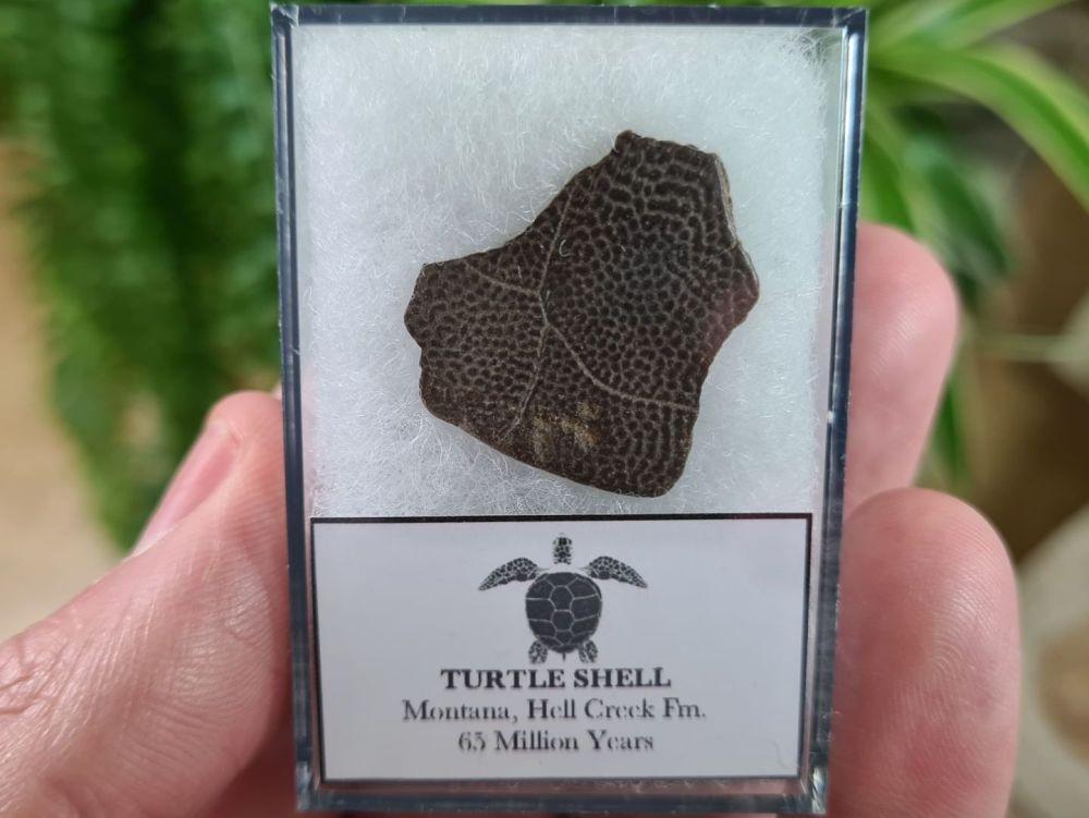 Turtle Shell, Hell Creek #04
