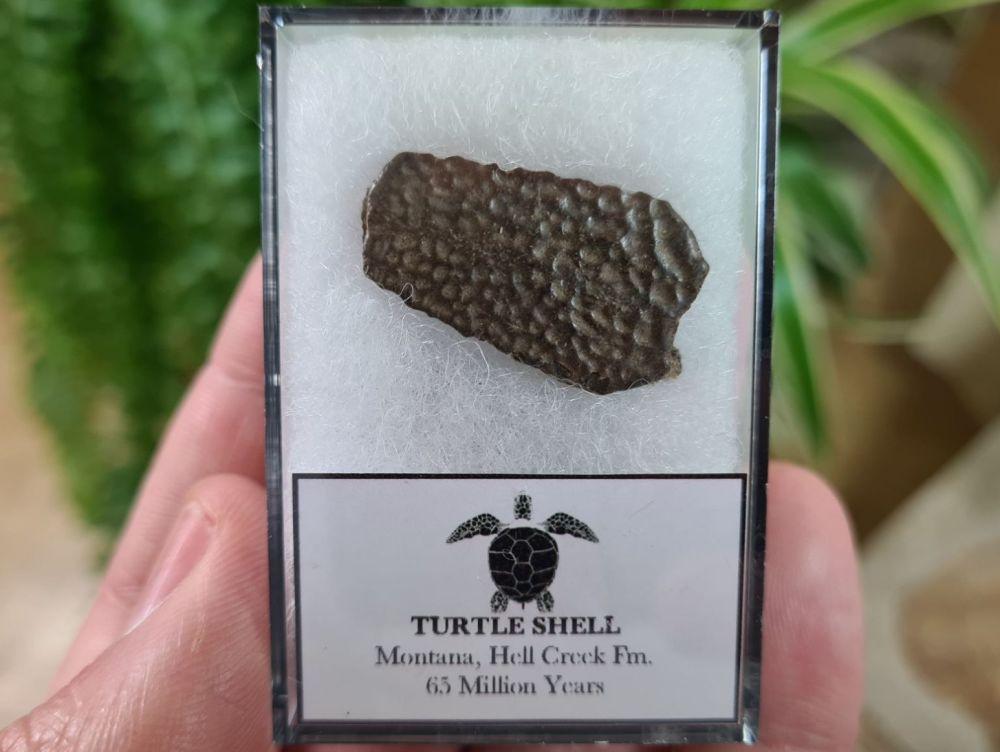 Turtle Shell, Hell Creek #07