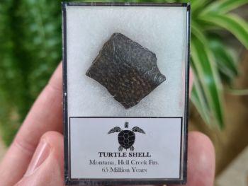 Turtle Shell, Hell Creek #08