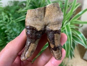 Woolly Rhino Tooth, Russia #03
