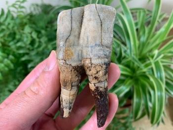Woolly Rhino Tooth, Russia #12