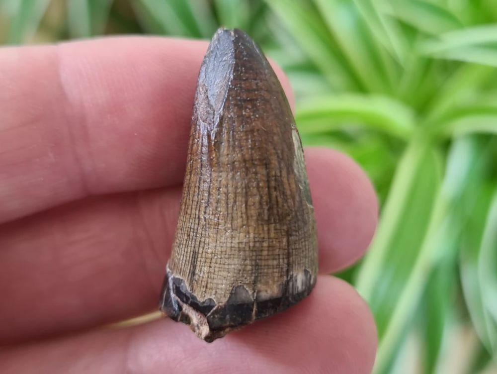 Sarcosuchus Tooth (Niger) #06