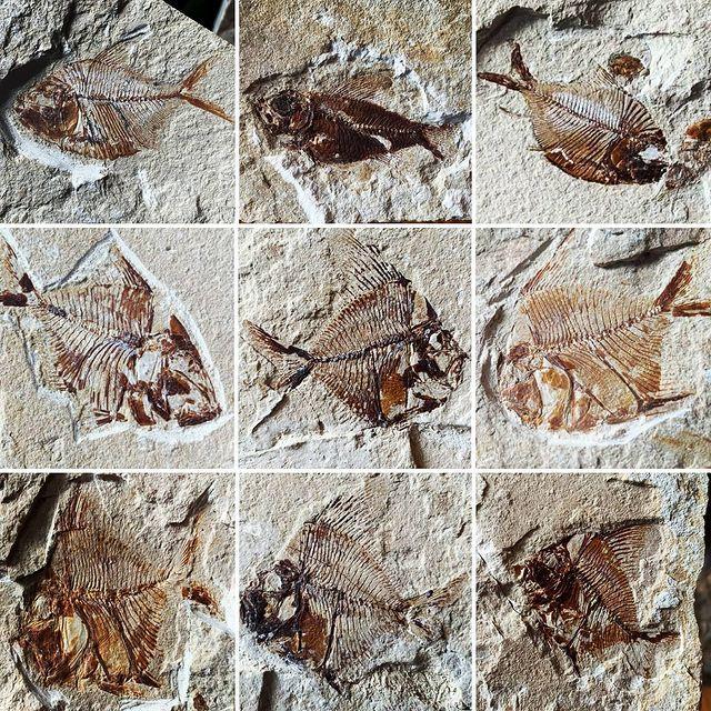 Byblos Fossil Fish