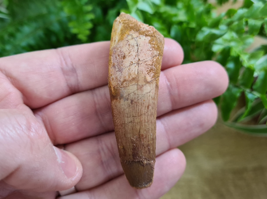 Spinosaurus Tooth - 2.63 inch #SP12