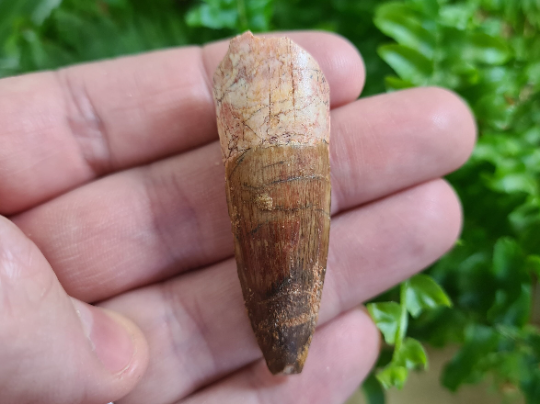 Spinosaurus Tooth - 2.2 inch #SP05