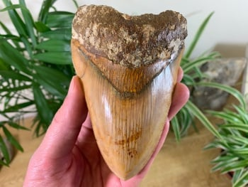 Megalodon Tooth, Indonesia - 4.69 inch #02