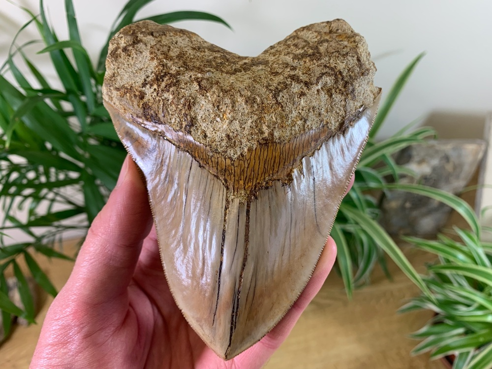 Megalodon Tooth, Indonesia - 5.25 inch #03