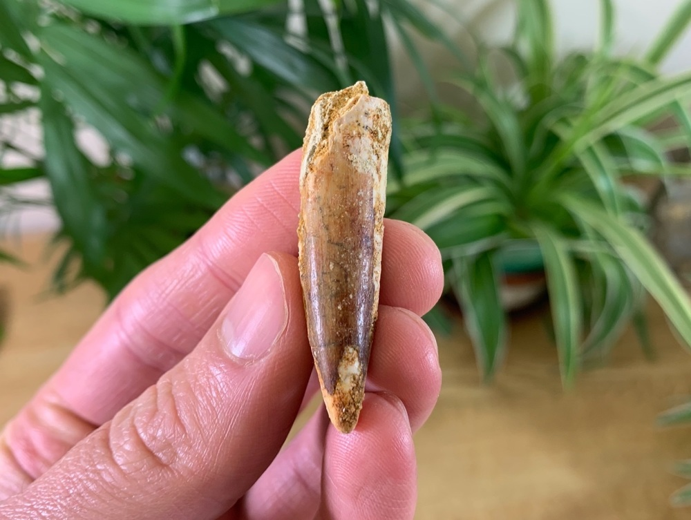 Spinosaurus Tooth - 1.69 inch #SP08