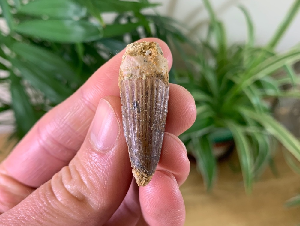 Spinosaurus Tooth - 1.96 inch #SP10