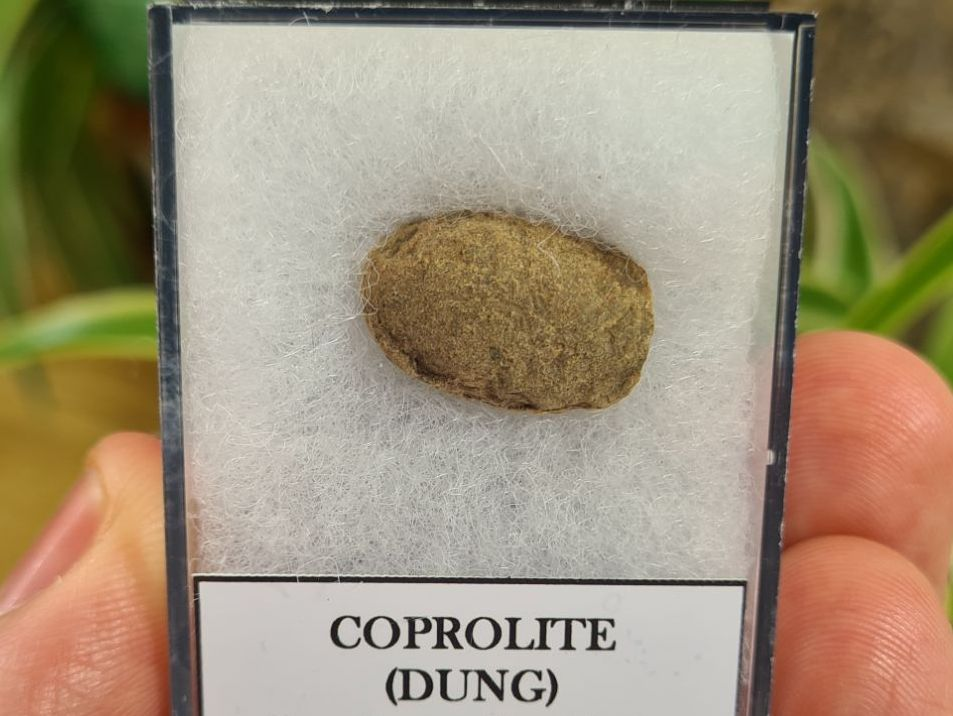 COPROLITE (DUNG), BULL CANYON FM. #3