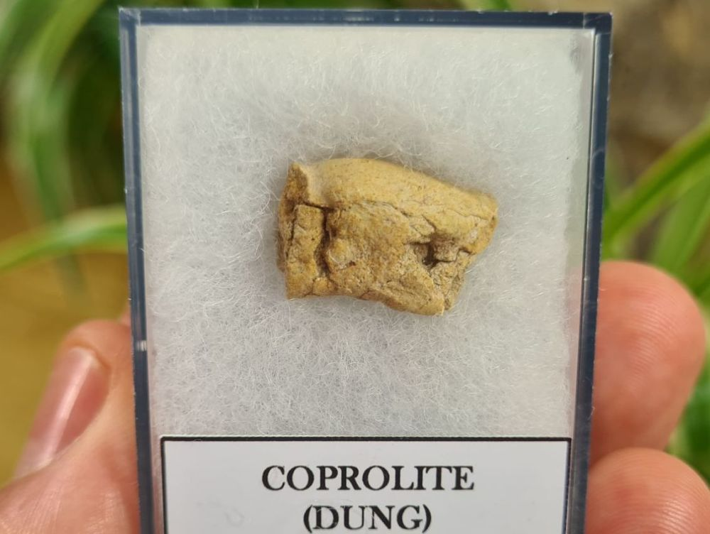 COPROLITE (DUNG), BULL CANYON FM. #4