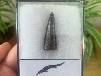 Stolokrosuchus Crocodile Tooth (Niger) #01