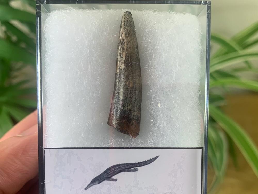 Stolokrosuchus Crocodile Tooth (Niger) #05