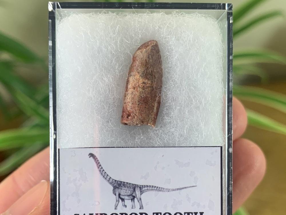Titanosaurid Sauropod Tooth, Kem Kem #10