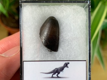 Tyrannosaurus rex Tooth Tip (0.75 inch) #09