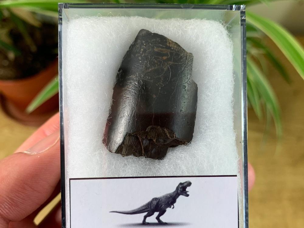 Tyrannosaurus rex Tooth (1.69 inch) #17