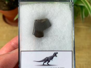 Tyrannosaurus rex Tooth Chunk (0.69 inch) #18