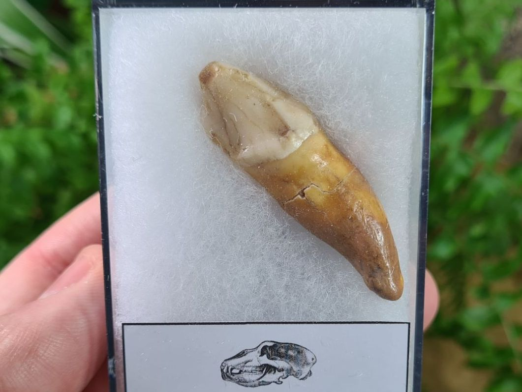 Ursus spelaeus Cave Bear Tooth (incisor) #02