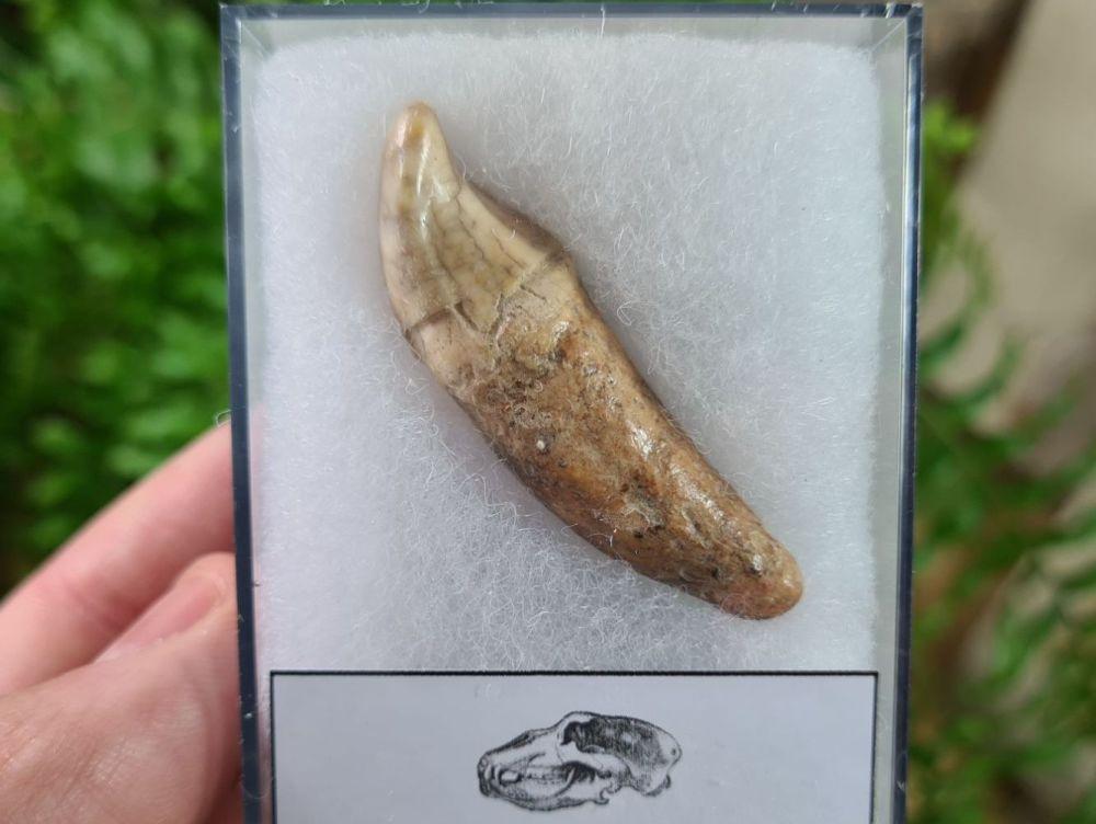 Ursus spelaeus Cave Bear Tooth (incisor) #03