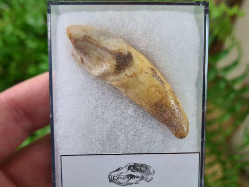 Ursus spelaeus Cave Bear Tooth (incisor) #04