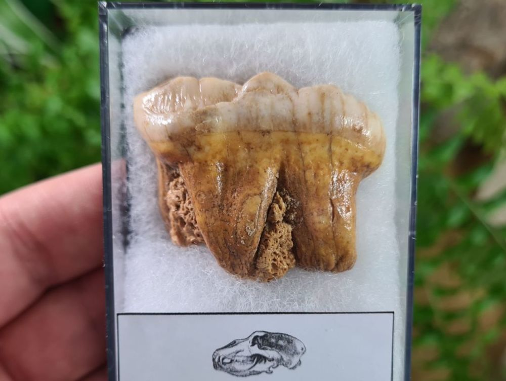 Ursus spelaeus Cave Bear Tooth (molar) #11