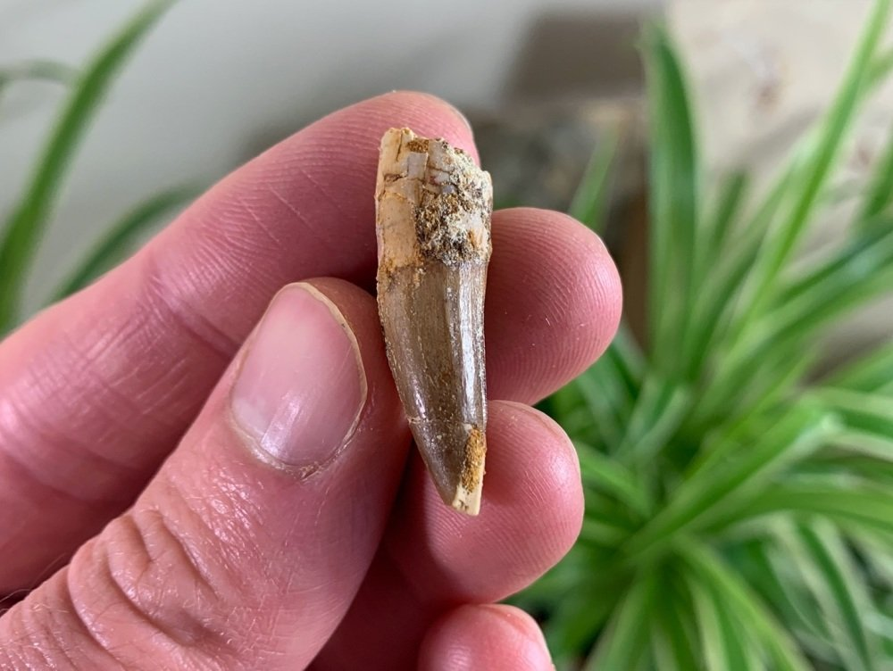 Spinosaurus Tooth - 1.12 inch #SP06