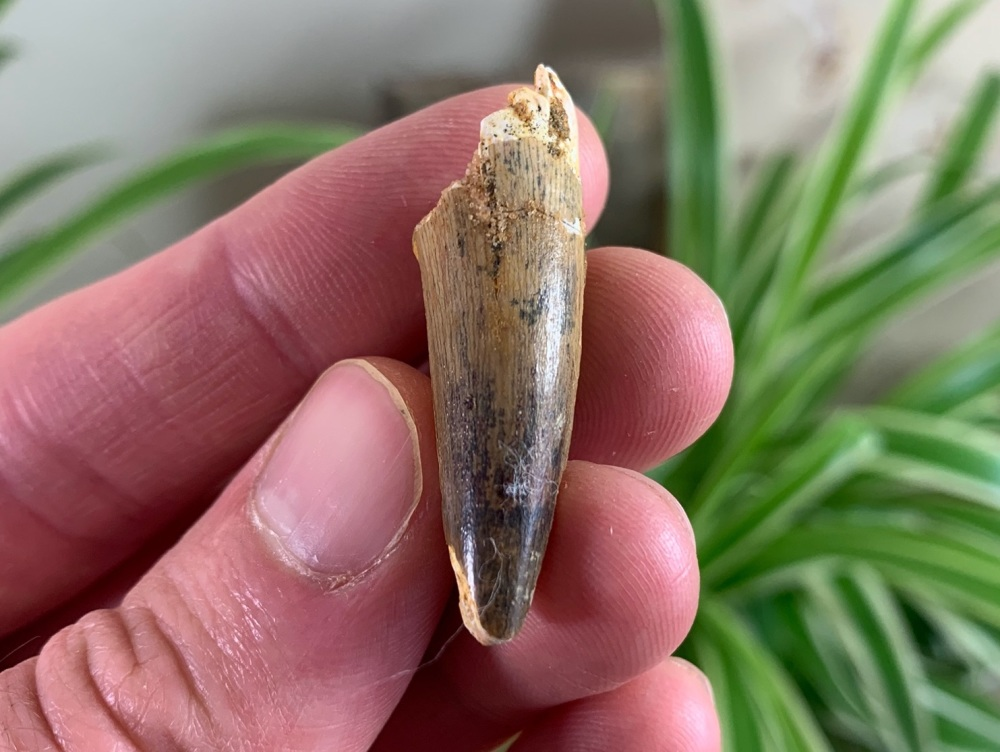 Spinosaurus Tooth - 1.5 inch #SP22