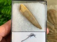 Plesiosaur Tooth (1.94 inch) #06