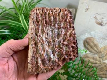 Crocodile Scute (Kem Kem, Morocco) #01