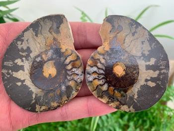 Cut & Polished Haematite Ammonite #06
