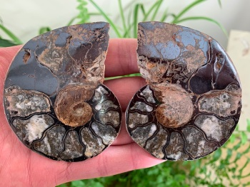 Cut & Polished Haematite Ammonite #07