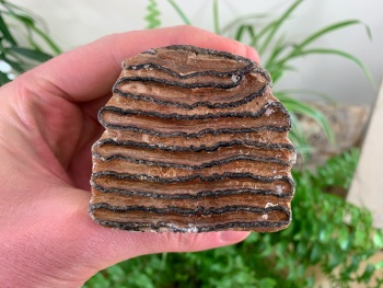 Woolly Mammoth Tooth (Partial) #02