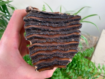 Woolly Mammoth Tooth (Partial) #05
