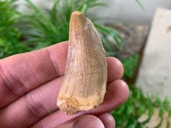 Carcharodontosaurus Tooth - 1.88 inch #CT19