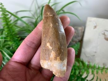 Carcharodontosaurus Tooth - 3.13 inch #CT29