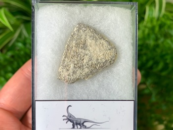 Saltasaurus Sauropod Eggshell #01